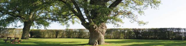 Le Vieux Chêne à la Chapelle-Vicomtesse